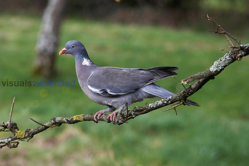 Wood Pigeon (Columba palumbus), Normandy, France