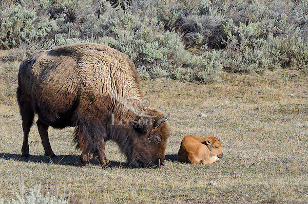 Bison cow with young calf (Bison bison).  Western U.S., May.