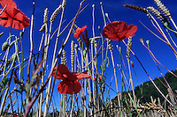 Ground-level view of poppies distributed at the edge of a wheat field, France