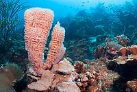 Azure vase sponges, Callyspongia plicifera, Bonaire, Caribbean Netherlands, Caribbean
