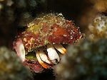 Du Li Jiao (Independence Reef), Green Island -- Hermit crab hidden in the branches of a staghorn coral.