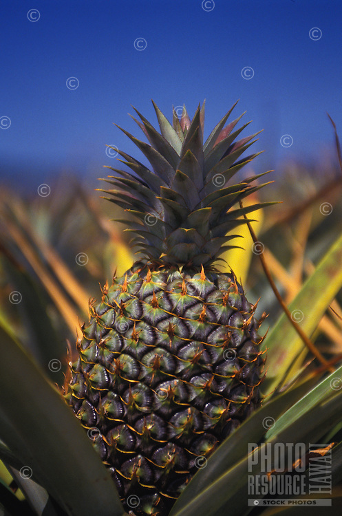 pineapple, central Oahu