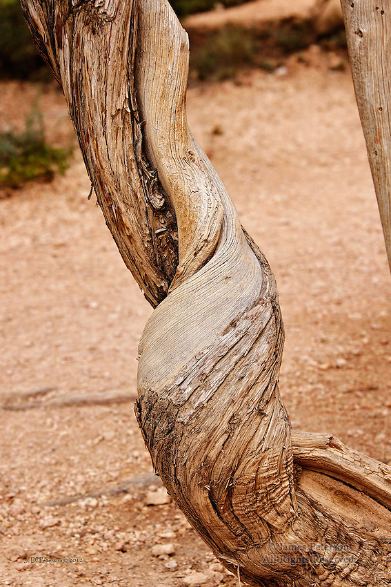 Chubby Checker's Tree, Bryce Canyon, Utah