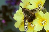 Gefleckter Wollschweber, Bombylius discolor, Bombyliidae