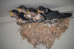 Horseshoe Bay, Texas; four fledgling Barn Swallows (Hirundo rustica) waiting with mouths open, in their mud nest at twilight, for their parents to bring them food