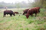 Red poll cattle grazing in a field near Sudbourne, Suffolk, England, UK