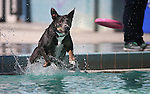 Abby plays frisbee at the annual Pooch Plunge at the Carson Aquatics Facility, in Carson City, Nev., on Saturday, Sept. 28, 2013. <br /> Photo by Cathleen Allison