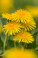 Group of Dandelions, Great Smoky Mountains, National Park, Tennessee