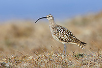 Adult Bristle-thighed Curlew (Numenius tahitiensis) on its breeding grounds. Seward Peninsula, Alaska. June.