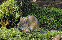 Brandmaus, Brand-Maus, frisst Buchecker, Maus, Apodemus agrarius, Old World field mouse, striped field mouse