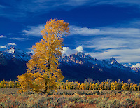 749450290 autumn turns the narrowleaf cottonwoods populus angustifolia and aspens populus tremuloides golden yellow as they frame the base of the teton range in late afternoon light in grand tetons national park wyoming