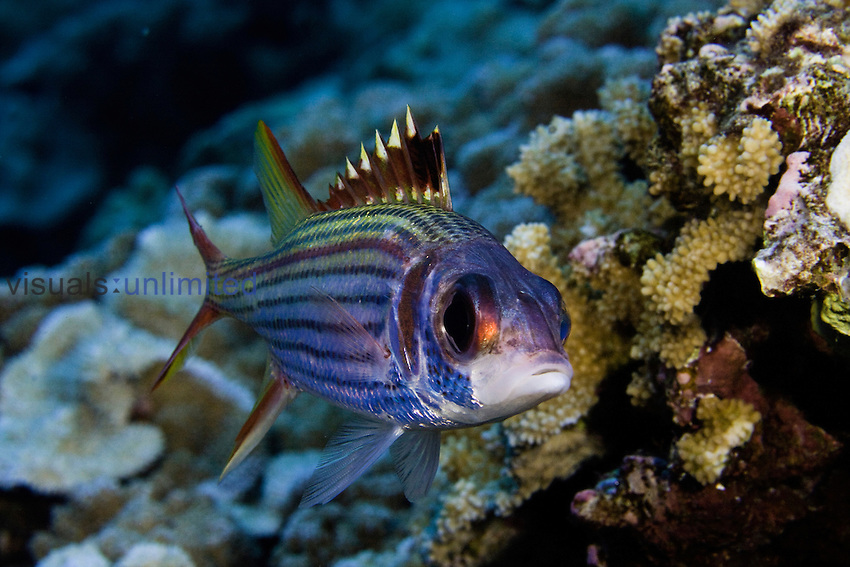Spotfin Squirrelfish (Neoniphon sammara), Hawaii, USA.