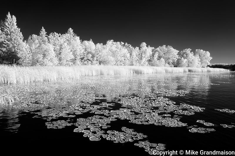 Waterlilies along the shoreline of Lake of teh Woods<br />