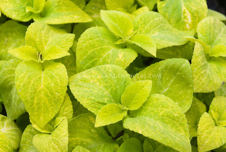 Solenostemon 'Wizard Golden Sun'  (Coleus) annual foliage plant with gold green leaves