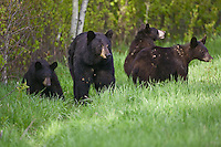 Black Bear family walking along the edge of a forest
