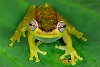 Treefrog (Hyla rubracyla), adult, San Cipriano Reserve, Cauca, Colombia, South America