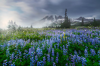 Mount Rainier with fog and wild lupine. Mount Rainier National Park, WA