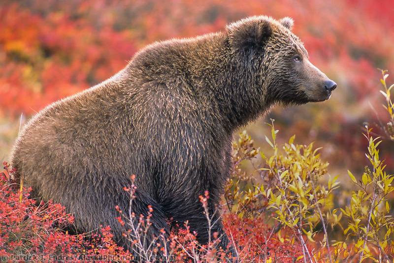 Female grizzly bear, autumn blueberry patch, Denali National Park, Alaska