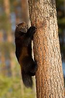 Wolverine (Gulo gulo) climbing a tree.  Lieksa, Finland, March 2013
