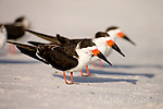 Black Skimmers (Rynchops niger), three in non-breeding plumage, Ft De Soto Park, Florida, USA