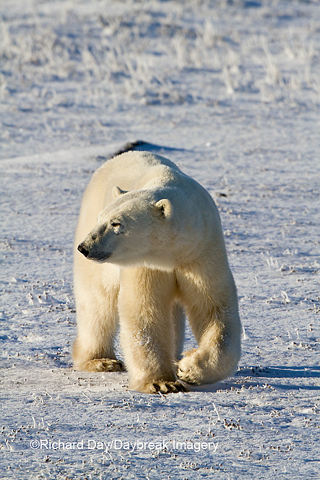 01874-12412 Polar bear (Ursus maritimus) walking in winter, Churchill Wildlife Management Area, Churchill, MB Canada