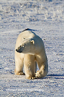 01874-12412 Polar bear (Ursus maritimus) walking in winter, Churchill Wildlife Management Area, Churchill, MB Canada