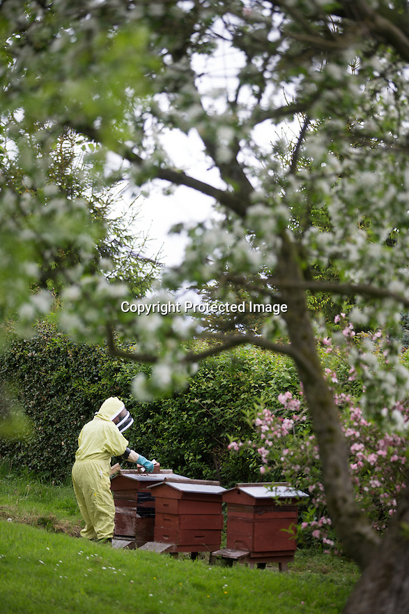"""27/05/16<br /> <br /> Thanks to an abundance of late-flowering blossoms in bee-keeper Gloria Havenhand's orchard, it's looking like this year could be the best ever for production for the UK's only medical honey farm, set close to the Chatsworth estate on the edge of the Derbyshire Peak District.<br /> <br /> There is a definite buzz of excitement as 72-year-old Gloria and her son Giles check the honey production in one of the several hundred hives she farms in Derbyshire and the Scottish highlands.<br /> <br /> Throughout the year, the bees collect pollen and nectar from more than 240 different varieties of flowering plants and hedgerows on the farms, with several acres of wild flower meadows nearby, which have been designated as Sites of Special Scientific Interest (SSSI).<br /> <br /> """"It's a bit like Fortnum and Masons for bees round here,"""" Gloria explained. <br /> <br /> """"The bees start the season early, usually in February, with snowdrops and crocus, before moving on to the dandelions and wild flowers such as borage and phacelia.<br /> <br /> """"Right now it's all about the orchard blossoms, and there's plenty of different ones for them to chose from, hawthorn, plum, cherry, damsons and crab apples to mention just a few.<br /> <br /> """"And later on in the year they'll move onto enjoy a feast of resins from the Christmas tree farm we also run here.""""<br /> <br /> Each hive is home to more than 40,000 bees and will produce around 120lb of honey a year, and it's this honey, which is carefully and slowly cold pressed from the wax honeycombs to keep the antibacterial properties intact.<br /> <br /> But it's not just honey that the bees provide. <br /> <br /> Gloria also harvests propolis, a resinous mixture that bees collect from tree buds, and pollen, which her company, MediBee, uses to create a range of medicinal supplements and creams, to treat a variety of ailments including eczema, psoriasis, hay fever and open wounds. <br /> <br /> All Rights Reserved, F Stop Pre"""