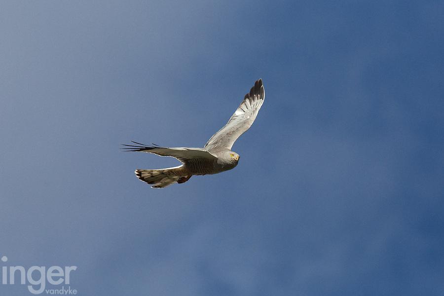 Cinereous Harrier in flight at Estancia la Angostura in Patagonia