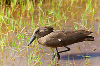 Hammerkop (Scopus umbretta), Lake Nakuru National Park, Kenya