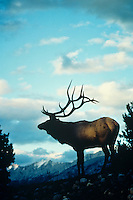 Rocky Mountain Elk (Cervis elaphus) bull at sunset, Northern Rockies.  Fall.