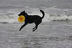 black dog and frisbee