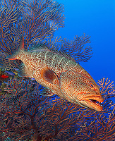 TR5510-Dv. Black Grouper (Mycteroperca bonaci), hovering in front of Deepwater Sea Fan (Iciligorgia schrammi). This grouper can change colors quickly and dramatically. It is now scarce on some Caribbean reefs due to overfishing. Cayman Islands, Caribbean Sea. Cropped to vertical from native horizontal format.<br /> Photo Copyright &copy; Brandon Cole. All rights reserved worldwide.  www.brandoncole.com