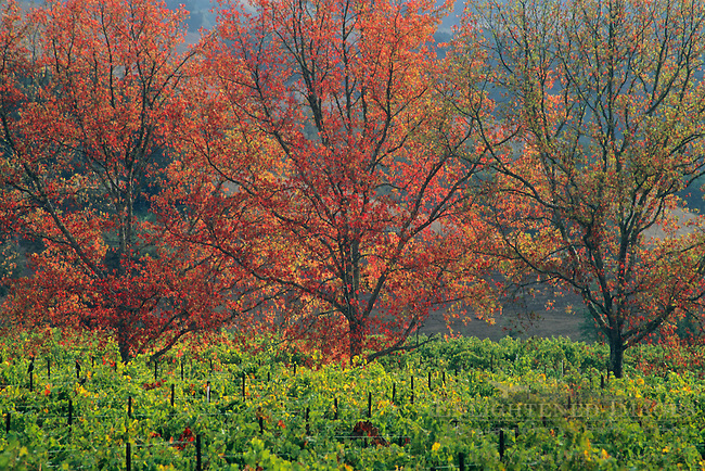 Trees in fall over vineyard in the Alexander Valley, Sonoma County, California