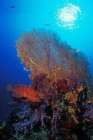 A Blue-Spotted Coral Grouper, Cephalopholis miniata, stakes out its territory amidst colorful Dendronepthya soft corals and a brilliant orange Gorgonian fan coral. Similan Islands Marine National Park, Thailand, Andaman Sea.