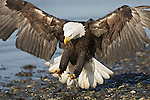 A bald eagle landing on the shore of  Kachemak Bay in Homer, Alaska.