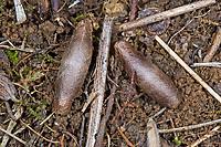 Schlupfwespe, Kokon, Latibulus argiolus, Endurus argiolus, Schlupfwespen, Ichneumonidae