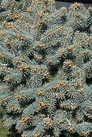 Picea pungens Globosa