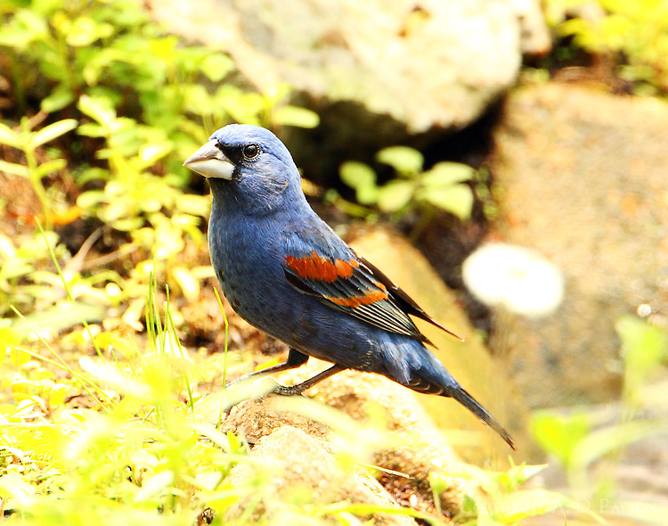 Adult male blue grosbeak at Paradise Pond in April