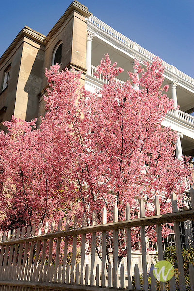 Charleston, SC. Meeting Street with flowering crabapple, tree