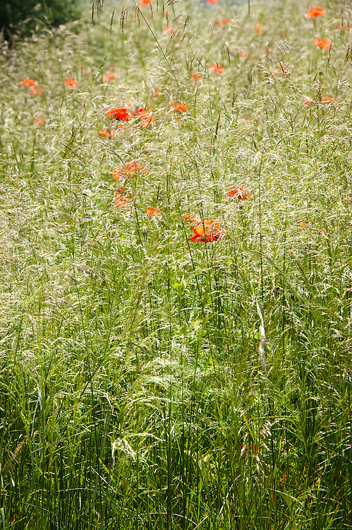 Corn or field poppies (Papaver rhoeas) amongst Tufted hair grass (Deschampsia cespitosa), early July. Enduring Freedom? conceptual show garden, RHS Hampton Court Flower Show 2011.