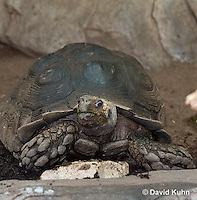 0218-1103  Asian Forest Tortoise (Burmese Black Tortoise), Found Northeast Taiwan to India, Manouria emys phayrei  © David Kuhn/Dwight Kuhn Photography