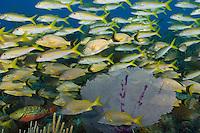 TH0796-D. Bluestriped Grunts (Haemulon sciurus), White Grunts (Haemulon plumierii), Yellow Goatfish (Mulloidichthys martinicus) schooling together over healthy coral reef. Cuba, Caribbean Sea.<br /> Photo Copyright &copy; Brandon Cole. All rights reserved worldwide.  www.brandoncole.com