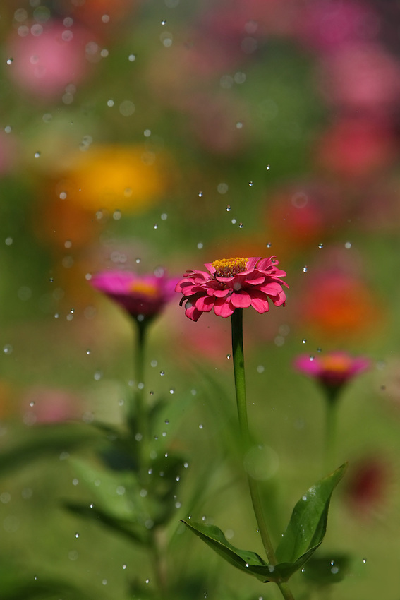 I used some high-speed shooting to try &amp; freeze the drops/movement, with a more distant group of flowers for background.<br />