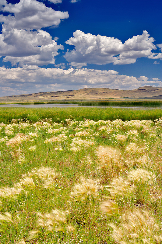 Summit Lake with foxtail grasses. Nevada
