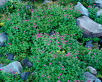 ORCAN_016 - USA, Oregon, Mount Hood National Forest, Mount Hood Wilderness, Purple blossoms of Lewis monkeyflower and scattered rocks in subalpine meadow.