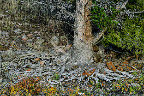 Pine Tree roots along Lamar Riverbank, Yellowstone National Park, Wyoming.  Sept.