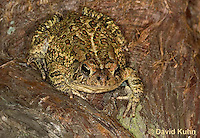 0602-0919  Fowler's Toad, Anaxyrus fowleri [syn: Bufo fowleri (Bufo woodhousii fowleri)]  © David Kuhn/Dwight Kuhn Photography