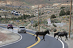 Hoof traffic on the highway near Silver City, Nev., on Thursday, June 9, 2016.<br />