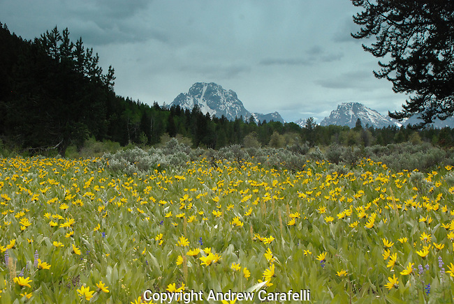 Mountain wild flowers awash in color shine brightly in the Wyoming  sun as Mt Moran peeks over the forest.