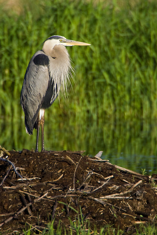 Great Blue Heron standing on a beaver lodge